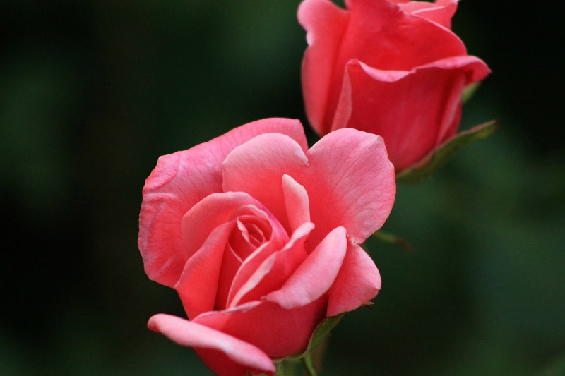 Tips on How to Make Your Roses Last Longer